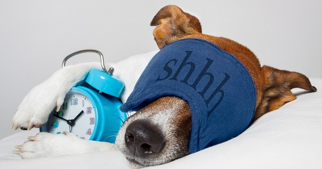 dog sleeping with an alarm clock